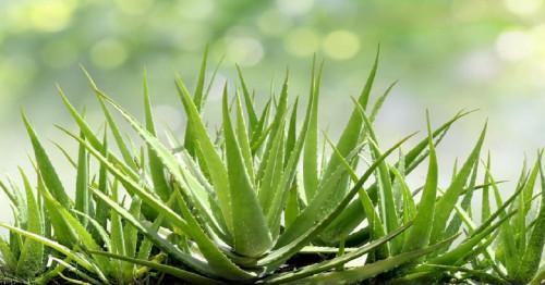 Where should aloe vera be used?